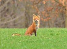 Θηλυκό κόκκινο αλεπού ή Vixen στη φύση Στοκ Εικόνες