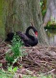 Θηλυκό μαύρο να τοποθετηθεί του Κύκνου Στοκ εικόνες με δικαίωμα ελεύθερης χρήσης