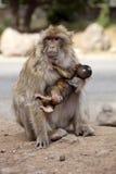 Θηλυκό με το νέο πίθηκο Βαρβαρίας, Macaca Sylvanus, βουνά ατλάντων, Μαρόκο Στοκ φωτογραφίες με δικαίωμα ελεύθερης χρήσης