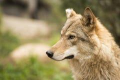Θηλυκό πορτρέτο λύκων Στοκ εικόνες με δικαίωμα ελεύθερης χρήσης