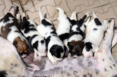 Θηλυκό σκυλί που ταΐζει τα χαριτωμένα μικρά κουτάβια της που απορροφούν το γάλα Στοκ φωτογραφία με δικαίωμα ελεύθερης χρήσης