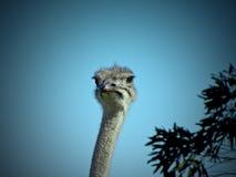 Θηλυκό στρουθοκαμήλων στοκ φωτογραφία με δικαίωμα ελεύθερης χρήσης