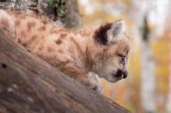 Θηλυκό σχεδιάγραμμα γατακιών Cougar (concolor Puma) Στοκ φωτογραφία με δικαίωμα ελεύθερης χρήσης