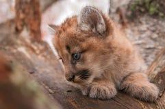 Θηλυκό σχεδιάγραμμα κινηματογραφήσεων σε πρώτο πλάνο concolor Puma γατακιών Cougar Στοκ Εικόνες