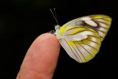 Θηλυκό της γδυμένης πεταλούδας άλμπατρος Στοκ Εικόνες