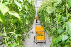 Θηλυκό φέρνοντας κλουβί ερευνητών προς το κάρρο στη μέση του πράσινου φασολιού Στοκ φωτογραφία με δικαίωμα ελεύθερης χρήσης