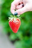 Θηλυκό χέρι που κρατά τη φράουλα Στοκ φωτογραφίες με δικαίωμα ελεύθερης χρήσης