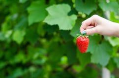 Θηλυκό χέρι που κρατά τη φράουλα Στοκ εικόνες με δικαίωμα ελεύθερης χρήσης