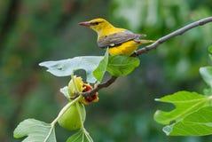 Θηλυκό χρυσό να ταΐσει oriole με τα φρούτα σύκων Στοκ Φωτογραφία