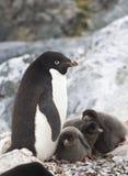 Θηλυκό Adelie penguin και τρεις νεοσσοί Στοκ εικόνες με δικαίωμα ελεύθερης χρήσης