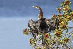 Θηλυκό Anhinga που ξεραίνει τα φτερά του σε ένα βραζιλιάνο δέντρο πιπεριών Στοκ εικόνες με δικαίωμα ελεύθερης χρήσης