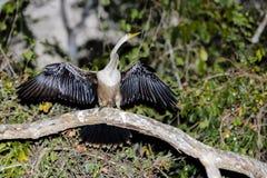 Θηλυκό Anhinga που στεγνώνει με τα φτερά που διαδίδονται στον κλάδο Στοκ εικόνες με δικαίωμα ελεύθερης χρήσης