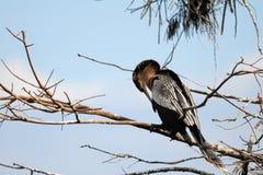 Θηλυκό anhinga Στοκ Εικόνες