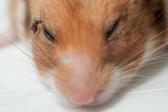 Θηλυκό Anopheles απορροφώντας αίμα κουνουπιών από το ποντίκι Στοκ Φωτογραφίες
