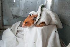 Θηλυκό Anopheles απορροφώντας αίμα κουνουπιών από το ποντίκι Στοκ Εικόνες