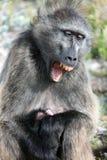Θηλυκό baboon με τα χασμουρητά μωρών Στοκ εικόνες με δικαίωμα ελεύθερης χρήσης
