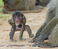 Θηλυκό Baboon μωρών Στοκ Εικόνες
