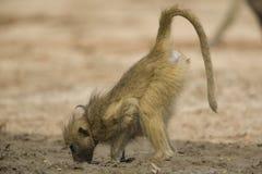 Θηλυκό Baboon Chacma (ursinus Papio) που πίνει στοκ φωτογραφία με δικαίωμα ελεύθερης χρήσης