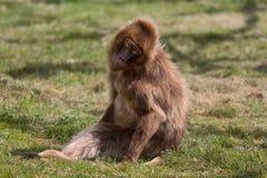 Θηλυκό Baboon Gelada Στοκ εικόνα με δικαίωμα ελεύθερης χρήσης