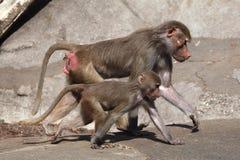 Θηλυκό baboon Hamadryas (hamadryas Papio) Στοκ φωτογραφία με δικαίωμα ελεύθερης χρήσης