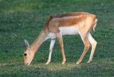 Θηλυκό blackbuck (cervicapra Antilope) Στοκ φωτογραφία με δικαίωμα ελεύθερης χρήσης