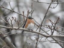 Θηλυκό Bluebird Στοκ Φωτογραφία