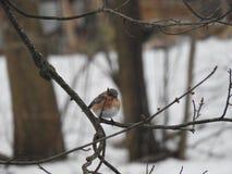Θηλυκό Bluebird Στοκ Εικόνες