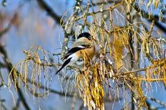 Θηλυκό Bullfinch στον κλάδο Στοκ φωτογραφίες με δικαίωμα ελεύθερης χρήσης