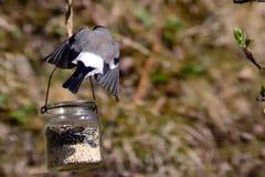 Θηλυκό Bullfinch Στοκ φωτογραφίες με δικαίωμα ελεύθερης χρήσης