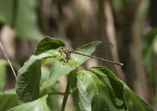 Θηλυκό damselfly χορευτών springwater Στοκ Εικόνα