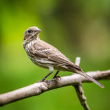 Θηλυκό Finch σπιτιών στοκ φωτογραφία με δικαίωμα ελεύθερης χρήσης