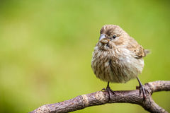 Θηλυκό Finch σπιτιών στοκ φωτογραφίες