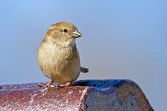 Θηλυκό Finch σπιτιών στοκ εικόνες με δικαίωμα ελεύθερης χρήσης