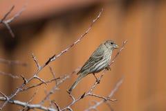Θηλυκό Finch σπιτιών (mexicanus Carpodacus) στοκ φωτογραφία με δικαίωμα ελεύθερης χρήσης