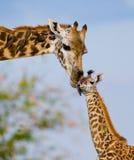 Θηλυκό giraffe με ένα μωρό στη σαβάνα Κένυα Τανζανία ανατολικό maasai Μάρτιος χορού της Αφρικής 5 2009 που εκτελεί τον του χωριού Στοκ Φωτογραφίες