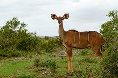 Θηλυκό Kudu που στέκεται και που κοιτάζει Στοκ Εικόνες