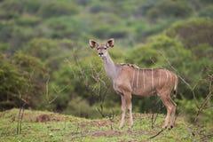 Θηλυκό Kudu buck στη Νότια Αφρική Στοκ Φωτογραφίες