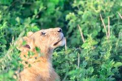 Θηλυκό leo Panthera λιονταριών ή λιονταρινών Στοκ φωτογραφία με δικαίωμα ελεύθερης χρήσης