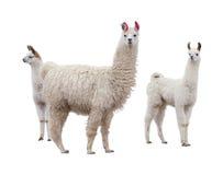 Θηλυκό llama με τα μωρά Στοκ Φωτογραφίες