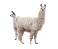 Θηλυκό llama με το μωρό Στοκ φωτογραφία με δικαίωμα ελεύθερης χρήσης