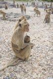 Θηλυκό macaque με cub Στοκ Εικόνες