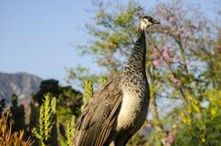 Θηλυκό peacock Στοκ εικόνα με δικαίωμα ελεύθερης χρήσης