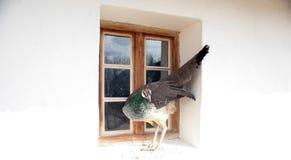 Θηλυκό peacock Στοκ φωτογραφία με δικαίωμα ελεύθερης χρήσης