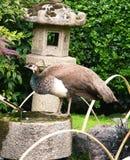 Θηλυκό peacock στοκ φωτογραφία