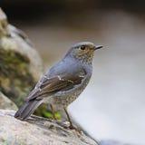 Θηλυκό Plumbeous Redstart Στοκ Φωτογραφίες