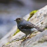 Θηλυκό Plumbeous Redstart Στοκ Εικόνες