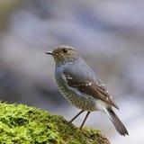 Θηλυκό Plumbeous Redstart Στοκ εικόνα με δικαίωμα ελεύθερης χρήσης