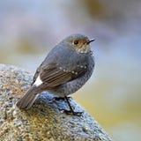 Θηλυκό Plumbeous Redstart Στοκ φωτογραφίες με δικαίωμα ελεύθερης χρήσης
