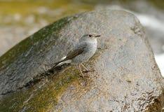 Θηλυκό Plumbeous Redstart (fuliginosa Rhyacornis) Στοκ Εικόνες