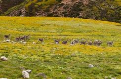 Θιβετιανά gazelles Στοκ Φωτογραφίες